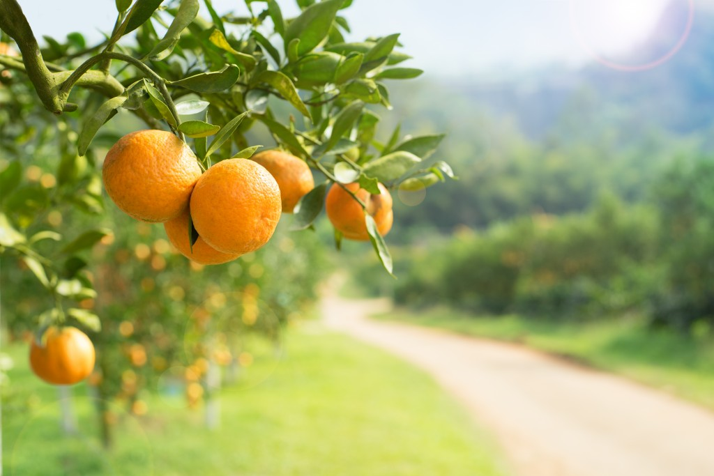 orchard with oranges